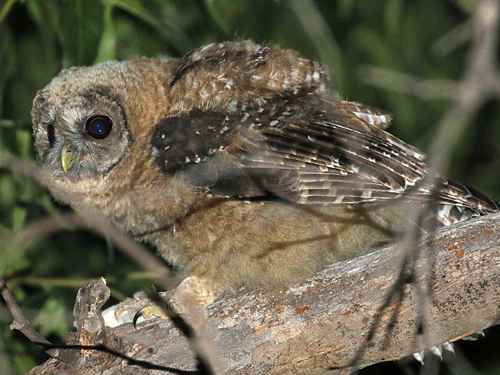 Mexican Spotted Owl SPOW juvenile