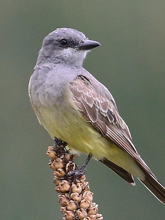 Cassin's Kingbird CAKI