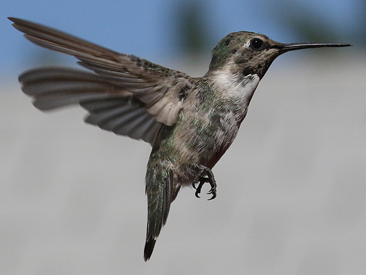 Costa's Hummingbird COHU