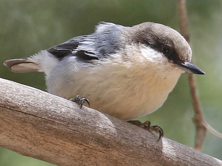 Pygmy Nuthatch PYNU