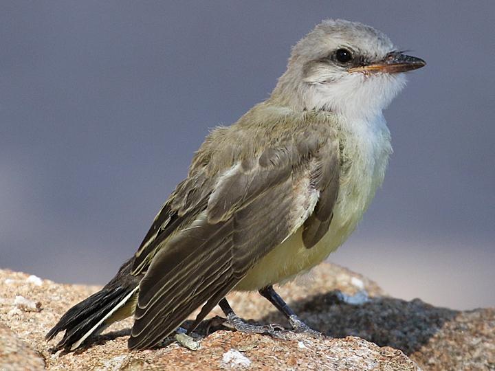 Western Kingbird WEKI juvenile