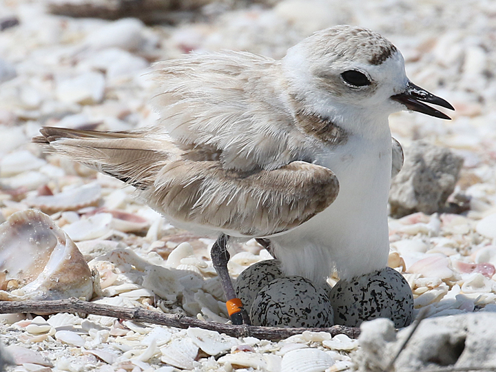 Snowy Plover nest and eggs