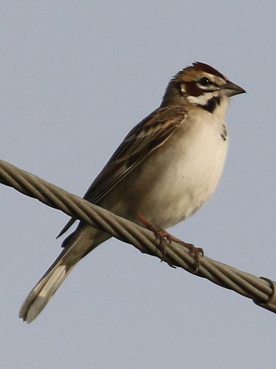 Lark Sparrow LASP
