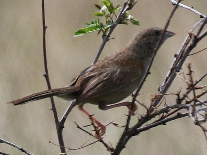 Botteri's Sparrow BOSP