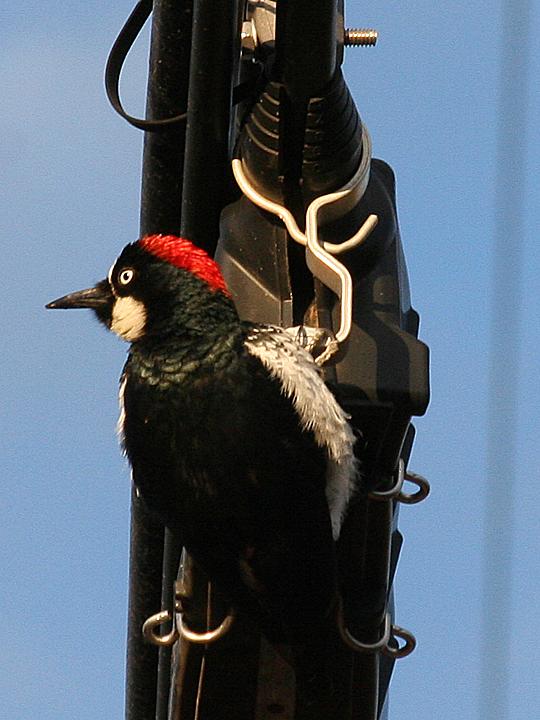 Acorn Woodpecker ACWO