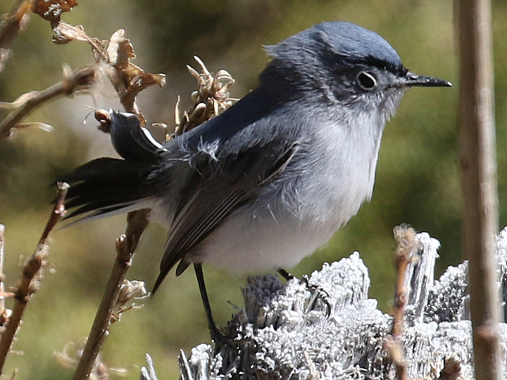 Blue-gray Gnatcatcher BGGN