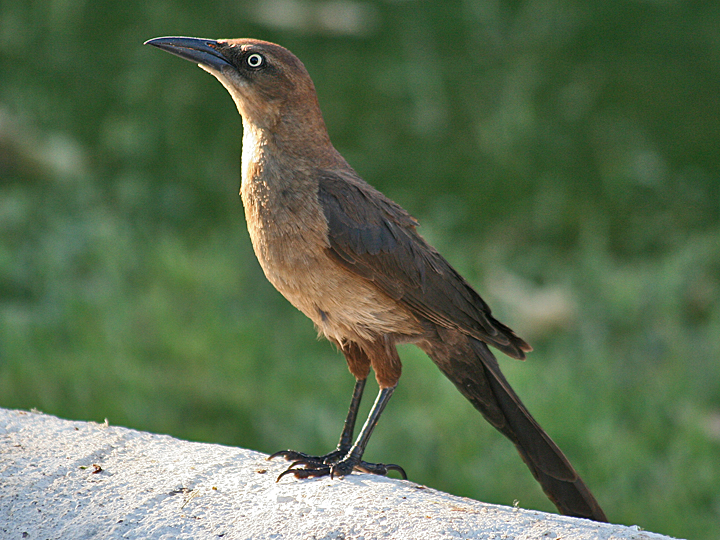 Great-tailed Grackle GTGR female