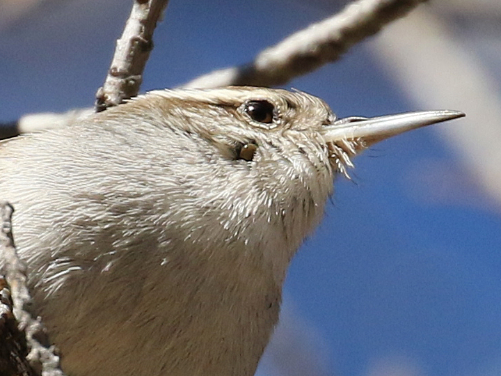 Bewick's Wren with tick