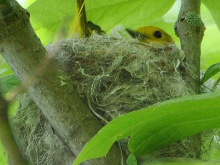 Yellow Warbler YWAR
