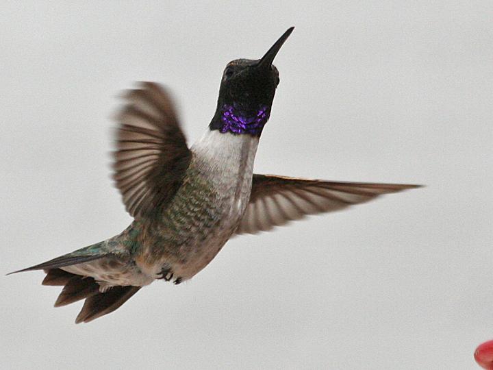 Black-chinned Hummingbird BCHU