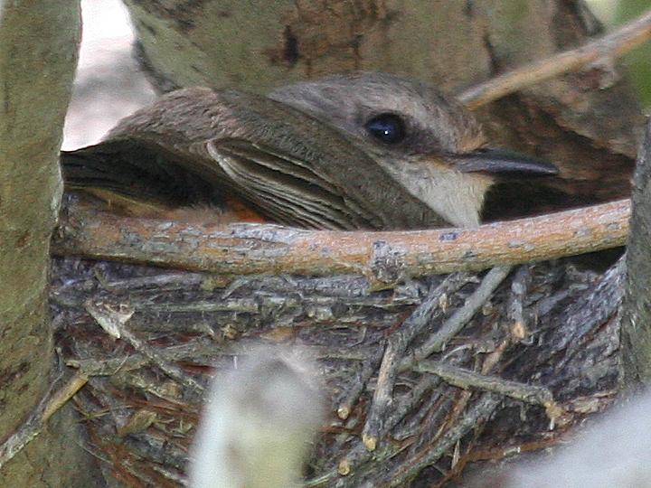 Vermilion Flycatcher VEFL female