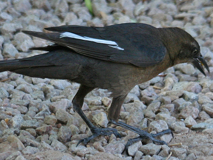 Leucistic Great-tailed Grackle