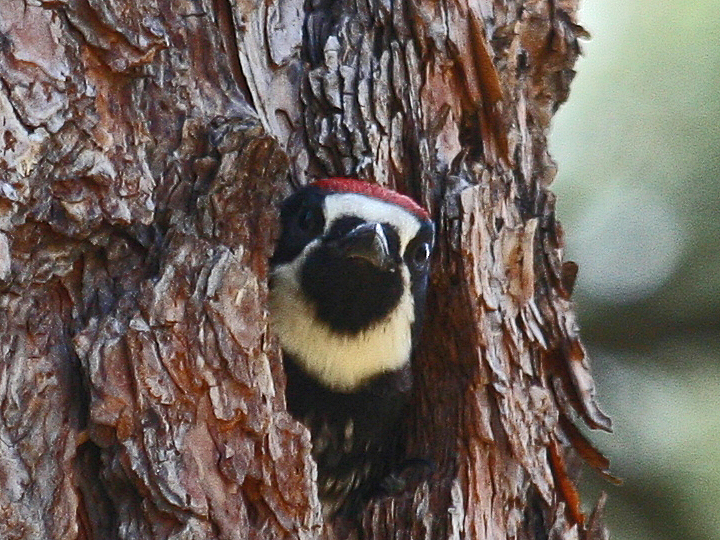Acorn Woodpecker nest