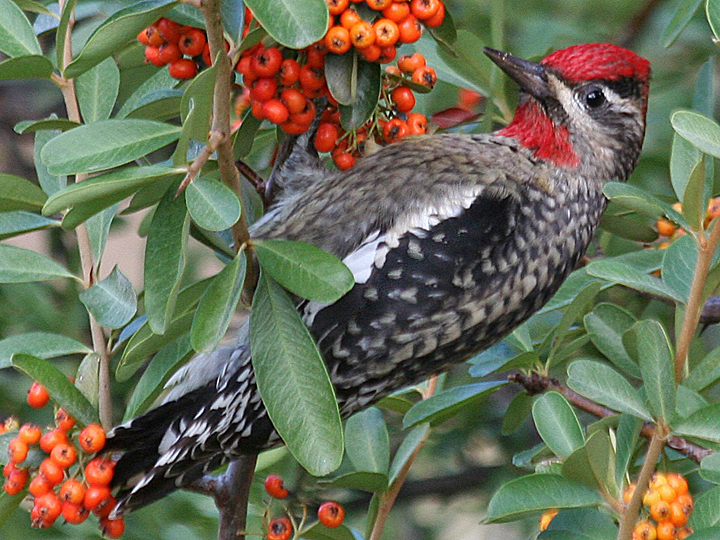 Red-napped Sapsucker juvenile RNSA