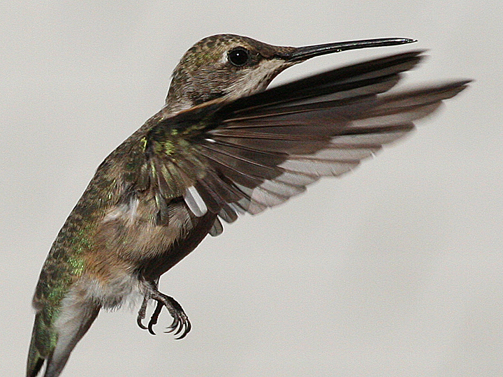 Leucistic Black-chinned Hummingbird