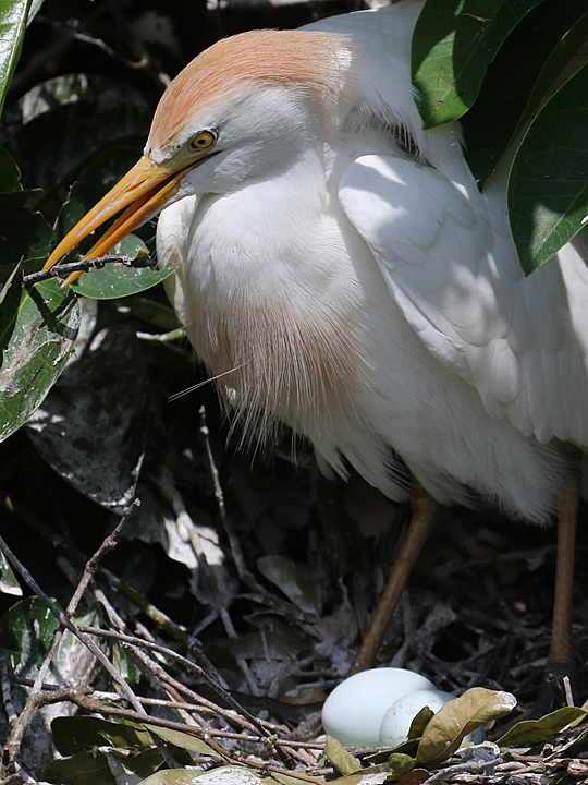 Cattle Egret nest and eggs