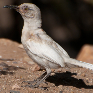 Leucistic Birds