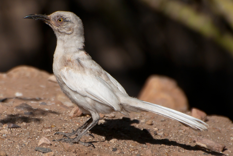 Leucistic Curve-billed Thrasher