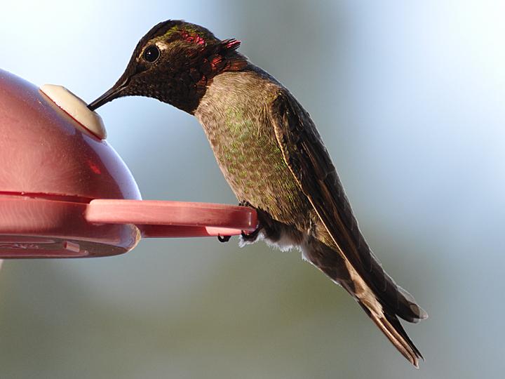 Anna's Hummingbird ANHU