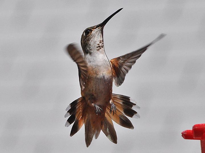 Allen's Hummingbird ALHU