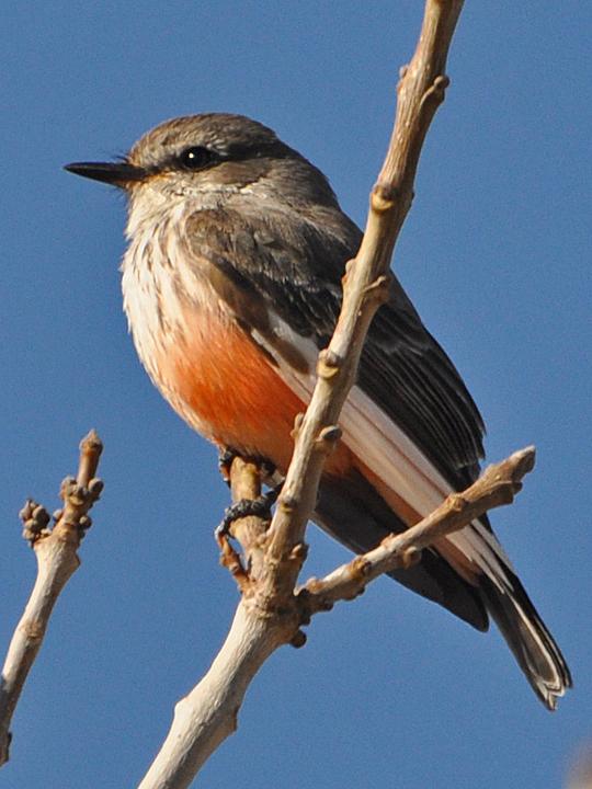 Vermilion Flycatcher leucistic