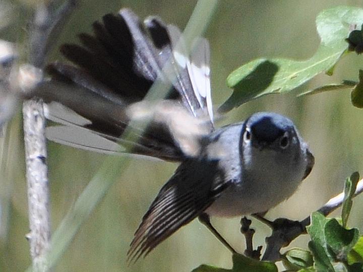 Blue-gray Gnatcatcher BGGN