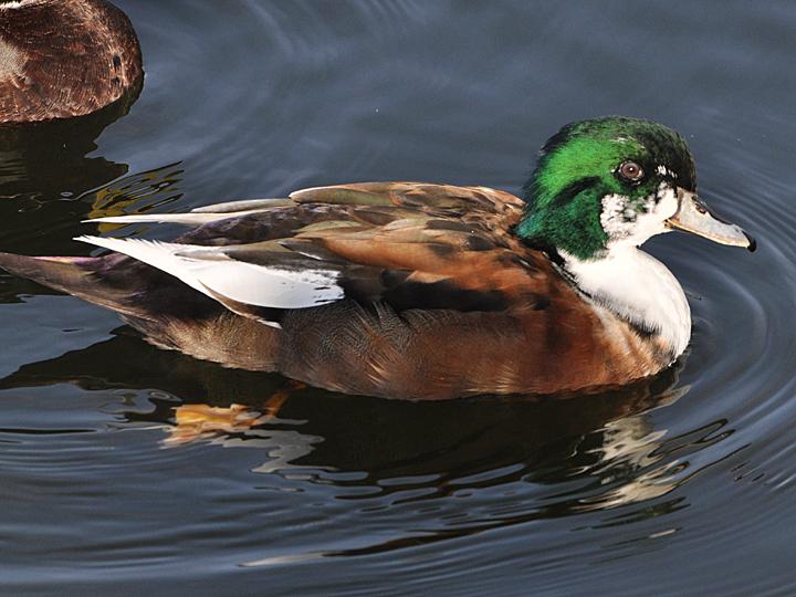 Mallard X Wood Duck