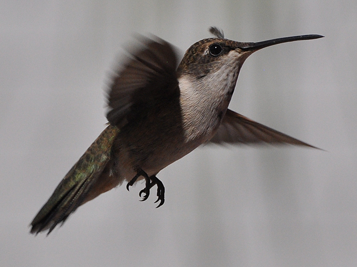 Black-chinned Hummingbird bad hair