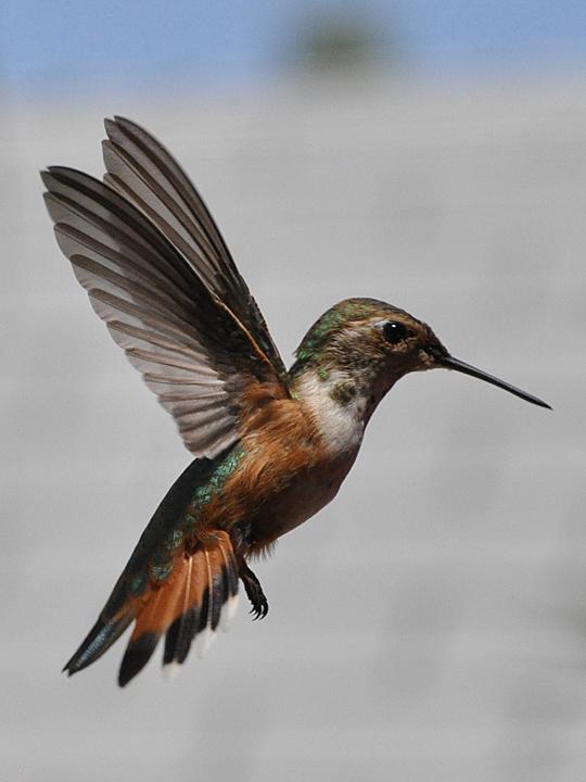 Rufous Hummingbird RUHU