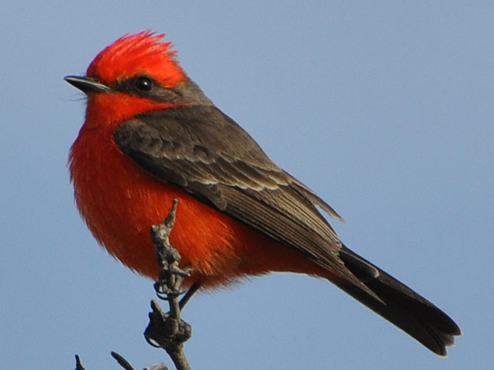 Vermilion Flycatcher VEFL male