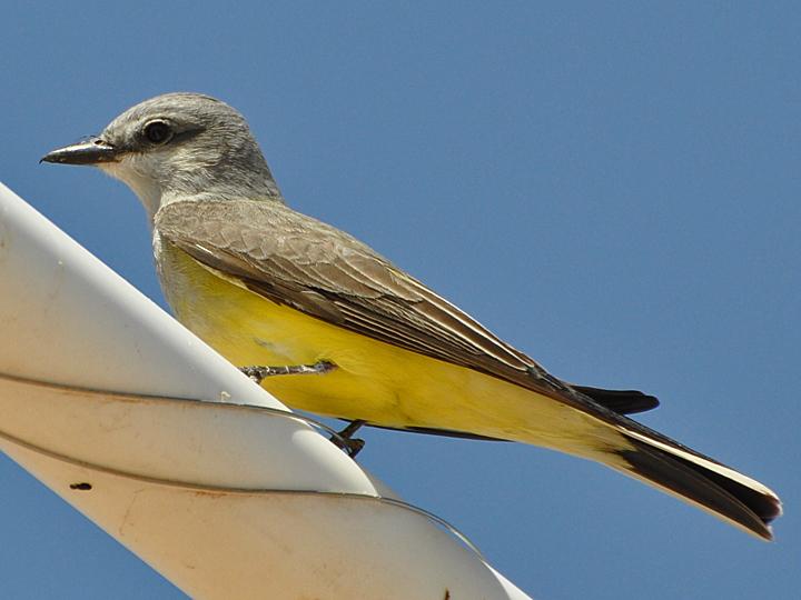 Western Kingbird WEKI