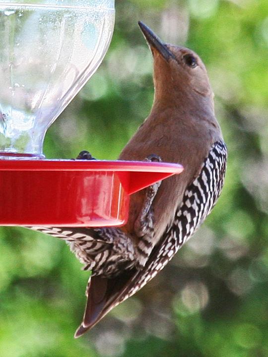 Gila Woodpecker GIWO