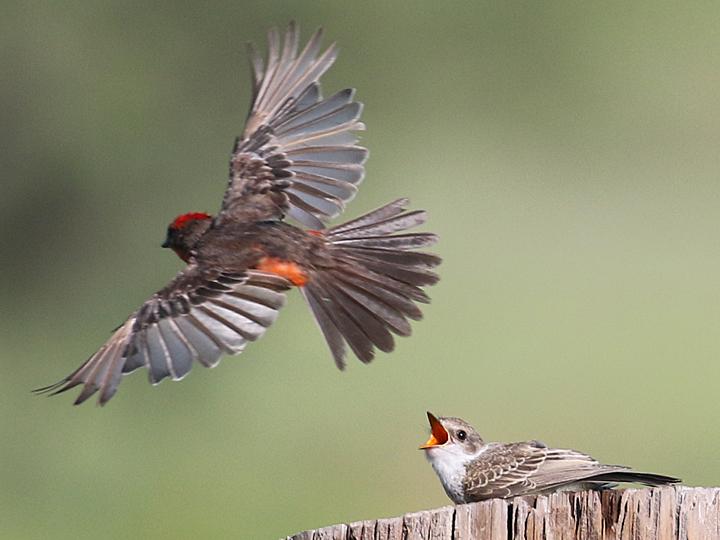 Vermilion Flycatcher VEFL juvenile