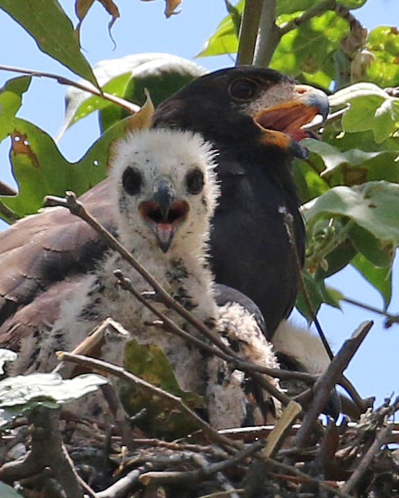 Common Black-Hawk nestling