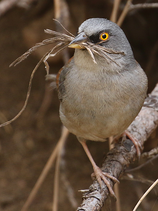 Yellow-eyed Junco nesting material