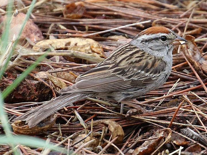 Chipping Sparrow CHSP