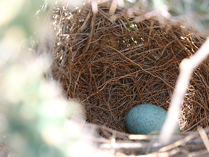 Curve-billed Thrasher Nest