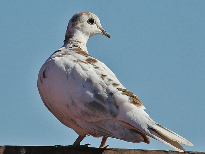 Leucistic Eurasian Collared-Dove