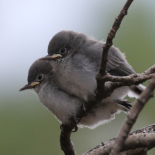Blue-gray Gnatcatcher BGGN juveniles