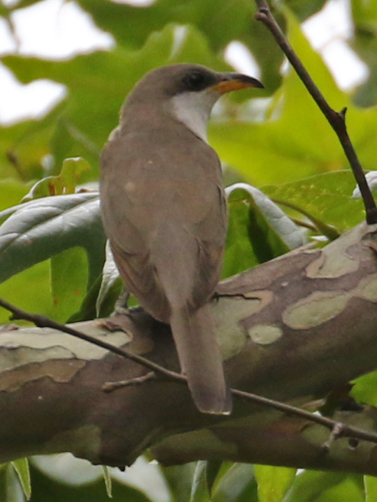 Yellow-billed Cuckoo YBCU