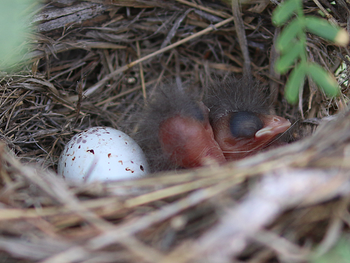 Canyon Towhee nest