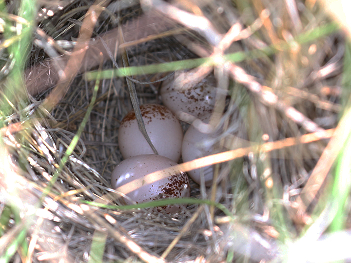 Grasshopper Sparrow GRSP nest