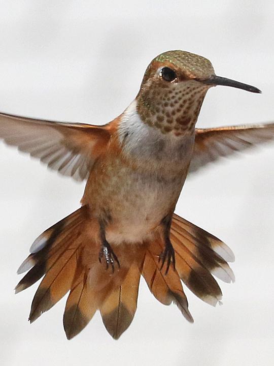 Rufous Hummingbird HYM