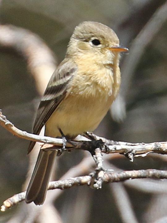 Buff-breasted Flycatcher BBFL