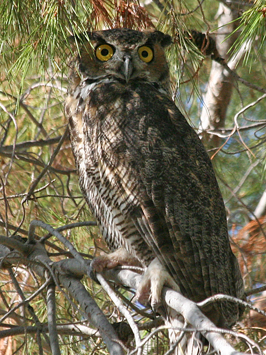 033-Great-Horned-Owl.jpg
