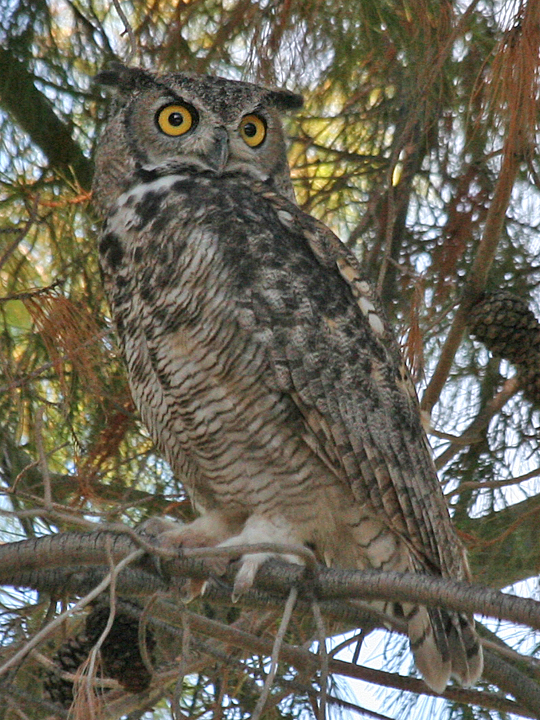 Great Horned Owl GHOW