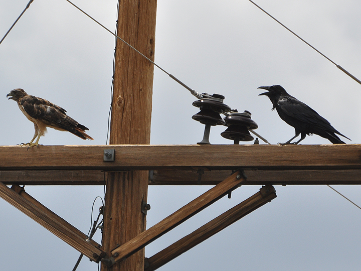 Common Raven vs Red-tailed Hawk