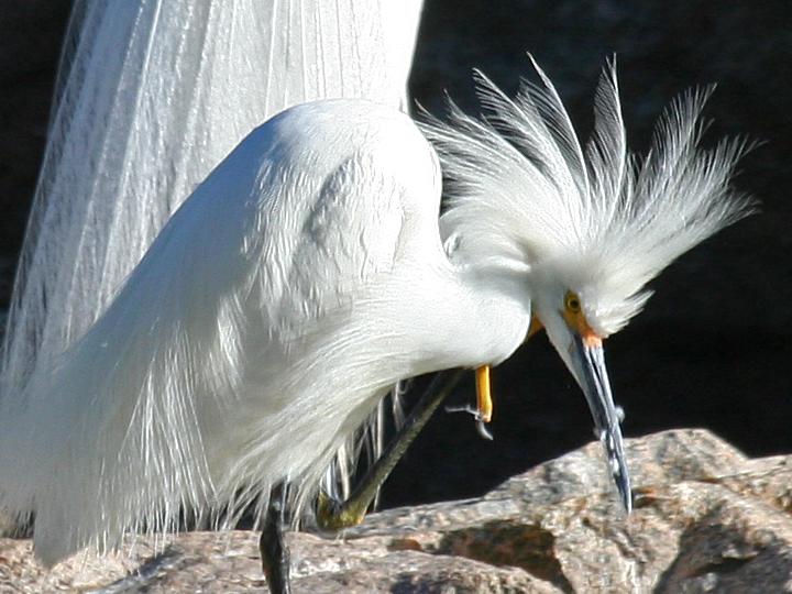 Snowy Egret SNEG