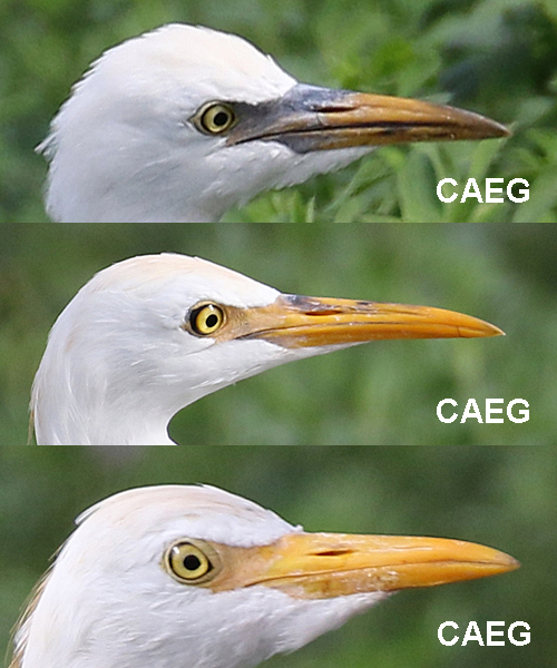 Cattle Egret CAEG