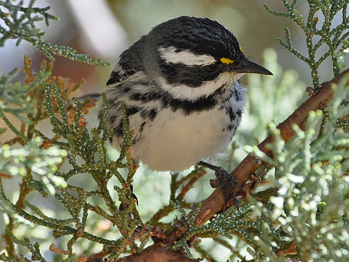 Black-throated Gray Warbler BTYW